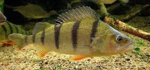 European Yellow Perch